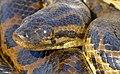 Yellow Anaconda (Eunectes notaeus) close-up ... (48292442941).jpg