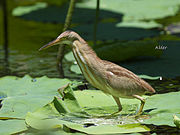 Yellow Bittern 9642.jpg