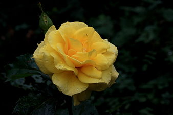 Yellow floribunda rose (friesia) (7534289060).jpg