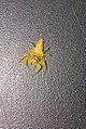 Yellowspider.jpg