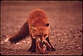 Young Female Fox near Galbraith Lake Camp Wrestling with a Turkey Neck--A Handout From the Camp Cook...08-1973 (3971218669).jpg