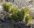 Yucca brevifolia 6.jpg