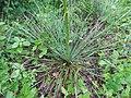 Yucca louisianensis.jpg