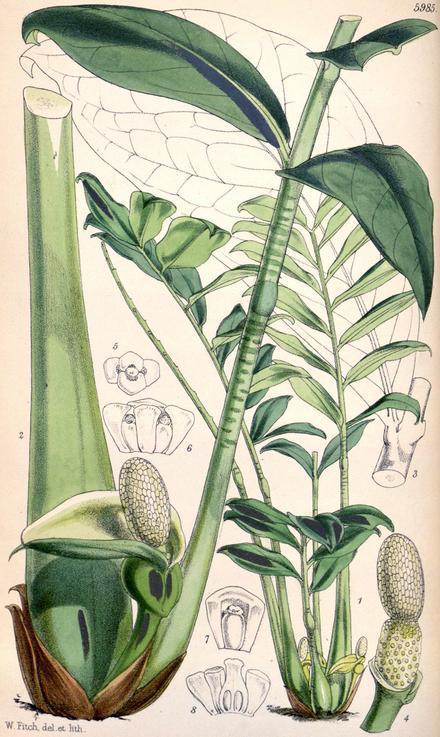 Zamioculcas Zamiifolia Wikiwand