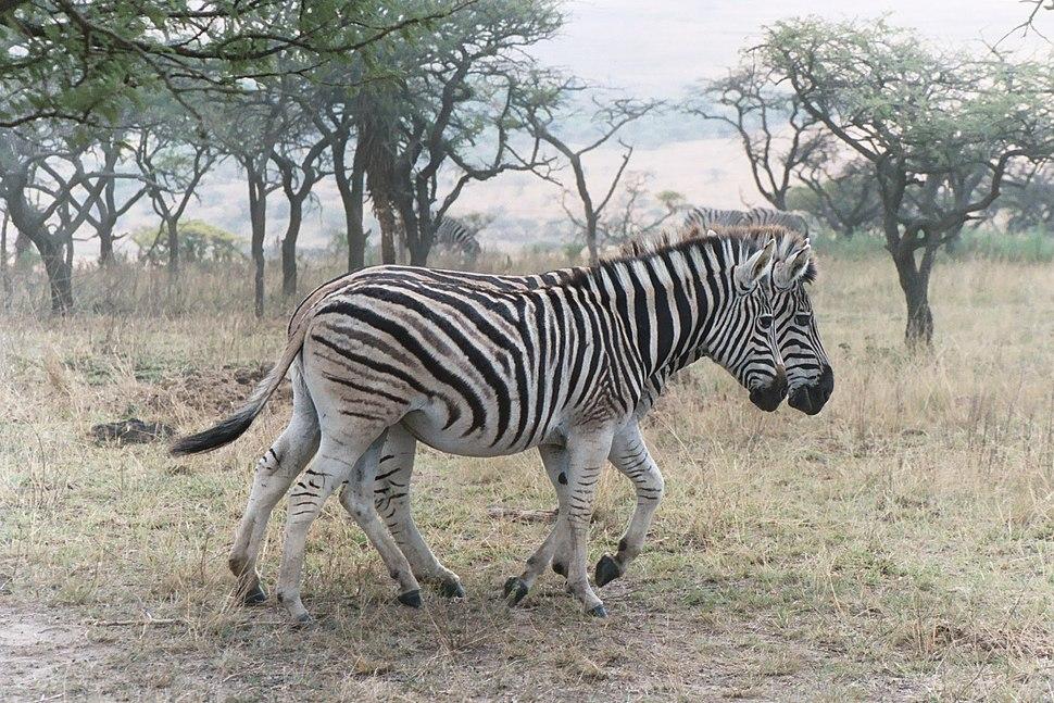 Zebra chapman za 2003