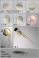 Zebrafish Developmental Stages.tiff