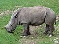 Zoo Beauval 12 06 2010 18 Ceratotherium simum simum.jpg