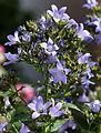 'Campanula lactiflora' milky bellflower Prichard's Variety Henham Essex England.jpg
