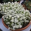 'Giga White' alyssum IMG 5055.jpg