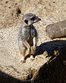 'Suricata suricatta' Meerkat suricate at Capel Manor College Gardens Enfield London England 2.jpg