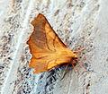 (1914) Dusky Thorn (Ennomos fuscantaria) (9624929843).jpg
