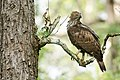 (3) Crested Hawk-Eagle (Nisaetus cirrhatus), Karnataka India August 2013.jpg