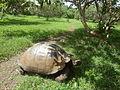 (Chelonoidis nigra) El Chato Reserve, Santa Cruz Galapagos )pic. i.JPG