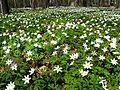 Łagiewniki Forrest in Spring 11.jpg