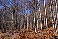 Δάσος Οξιάς.jpg