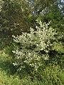 Бяла топола – храст.jpg