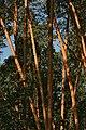 Высоковозрастный сосняк в Серебряном бору.jpg
