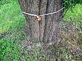 Вікове дерево груші 04.JPG
