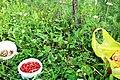 Земляника лесная (Fragaria vesca) f015.jpg