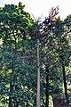 Крона сосны во дворе дома 17 по Минина.jpg