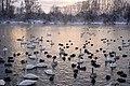 Лебеди-кликуны.jpg