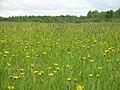 Одуванчики в цвету - panoramio (1).jpg