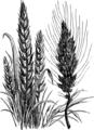 Пшеница (БЭАН).png