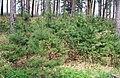 Юрмала (Латвия) Молодые сосенки на дюнах - panoramio.jpg