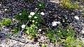 הרבה פרחים לבנים 2.jpg