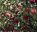 سیب مراغه - panoramio.jpg