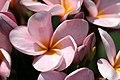 ลีลาวดี ( Plumeria spp. ) (21).jpg