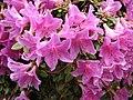 中原氏杜鵑 Rhododendron nakaharae -哥本哈根大學植物園 Copenhagen University Botanical Garden- (36854297616).jpg