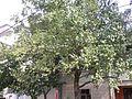 仙溪镇路边的枣树 - panoramio.jpg