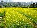 南昆山下的油菜花 - panoramio.jpg