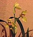 墨蘭秋榜 Cymbidium sinense v haematodes -香港沙田洋蘭展 Shatin Orchid Show, Hong Kong- (31364304431).jpg