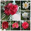 山茶花 Camellia japonica cultivars 6 -深圳園博園茶花展 Shenzhen Camellia Show, China- (9237446261).jpg