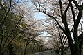 平和霊園の桜のトンネル - panoramio.jpg