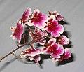 文心蘭 Oncidium Vorat Belle 'Sweet Dreams' -香港沙田洋蘭展 Shatin Orchid Show, Hong Kong- (9207603750).jpg