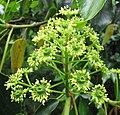 昆欄樹 Trochodendron aralioides -比利時 Ghent University Botanical Garden, Belgium- (9222672648).jpg