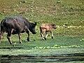 母牛與小牛 Cow and Calf - panoramio.jpg