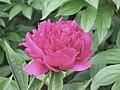 芍藥-紫羅漢 Paeonia lactiflora 'Purple Arahat' -揚州瘦西湖 Yangzhou, China- (12403738175).jpg