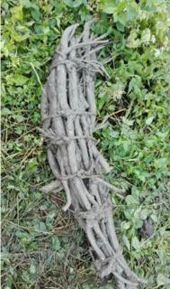 Jingtang Lotus Roots