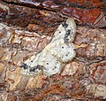 -1711- Treble Brown Spot (Idaea trigeminata) (42836304382).jpg