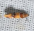 - 1046 – Epicallima argenticinctella – Orange-headed Epicallima Moth (18878783423).jpg