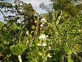 0809jfPaddy fields Grasslands Sumacab Sur Norte, Cabanatuan Cityfvf 15.jpg