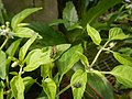 0998Ornamental plants in the Philippines 21.jpg