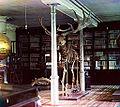 1910Скелет широкорогого оленя.jpg