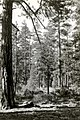 1927. Ponderosa pine timber stand. Modoc National Forest, California. (37510656374).jpg