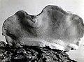 1935. Fomes pinicola sporophores under surface. (36012494255).jpg