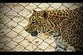 1Caged - Leopard in Bannerghatta National Park, Karnataka.jpg